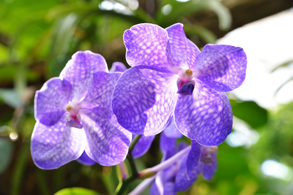 Photograph of purple orchid