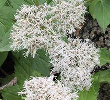 Planting planned kyumitsu*butsu (sima thoroughwort)