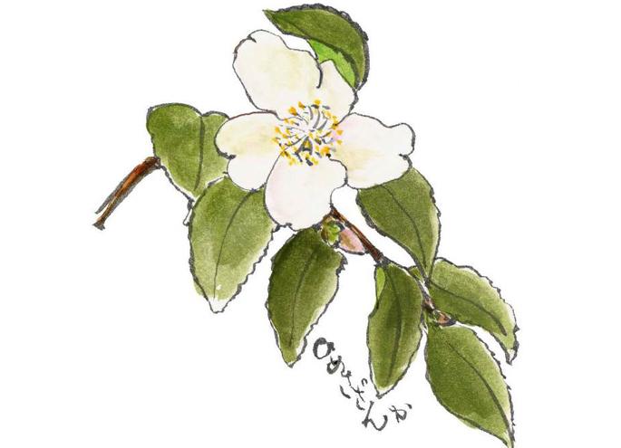 그림 편지의 샘플(식물명:히메사잔카)