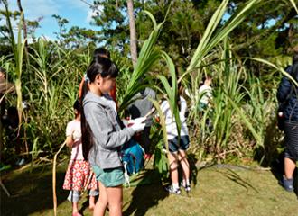 We harvest sugarcane