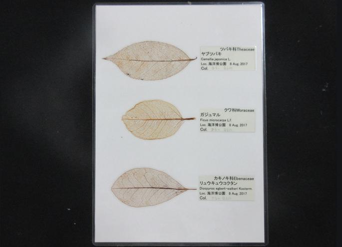 製作的葉脈標本