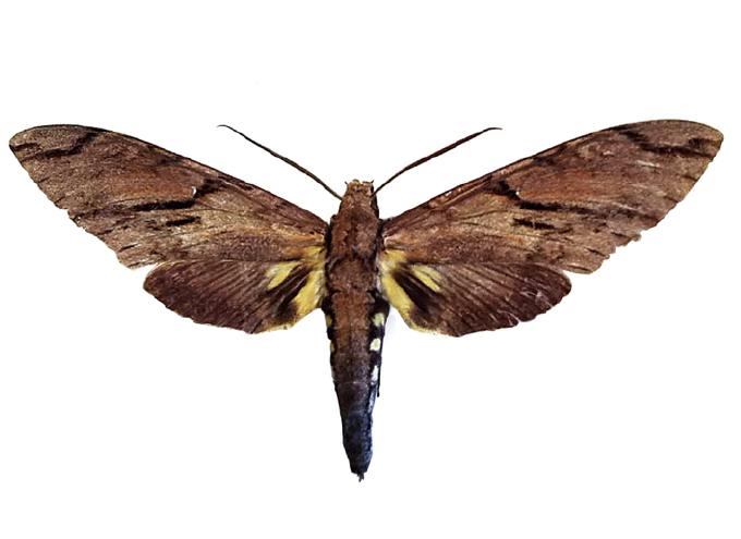 有達爾文預言的世界第一長的口的小家伙三德麵包麻雀蛾的標本登場