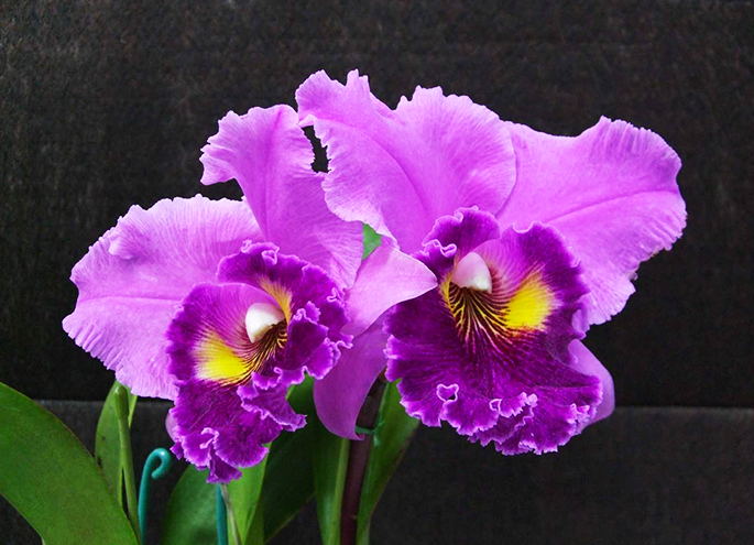 Flower of cattleya
