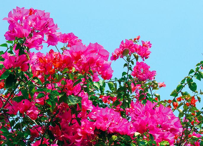 鲜明的bugembirea是彩色叶!