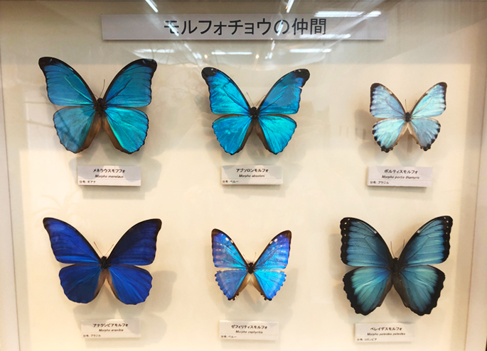 Friend of morpho butterfly which is brilliant like jewel