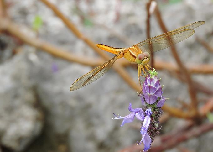 Thai Riku orangutan dragonfly (♀)