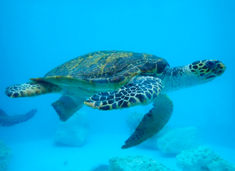 Display of the second generation hawksbill turtle (we steal mother)