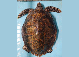 The second generation hawksbill turtle