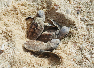 Baby of hawksbill turtle escaping after the incubation