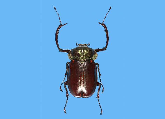 Type specimen of yambarutenagakogane