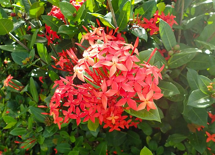 Flower of sandanka to use for pressed flower
