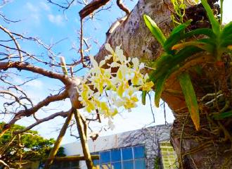 Ko Sour Orange Sui orchid