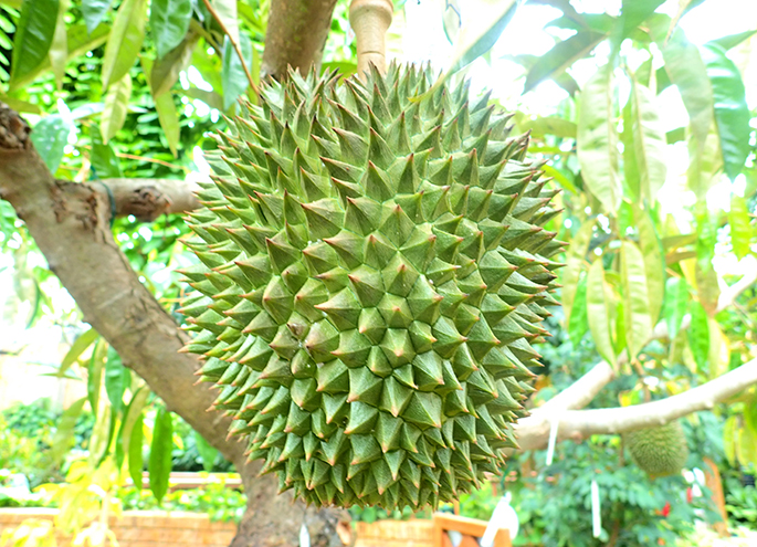 Durian which bore fruit last year in tropical dream center
