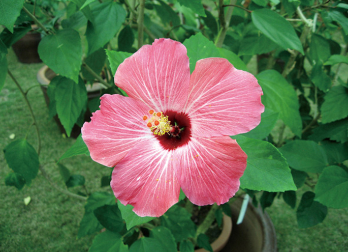 Hibiscus (※ flower to distribute may not be this color)
