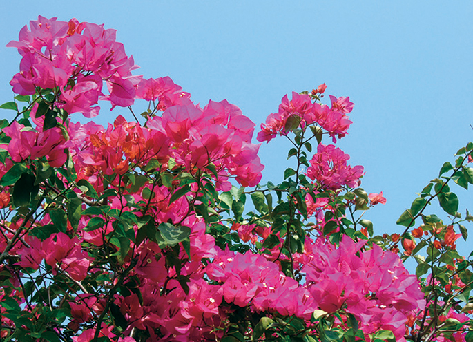 Bougainvillaea (※ flower to distribute may not be this color)