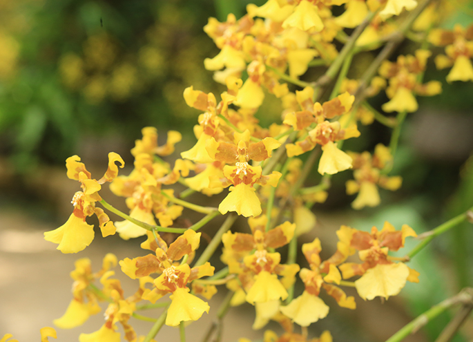 Orchid (oncidium) (※ flower to distribute may not be this color)