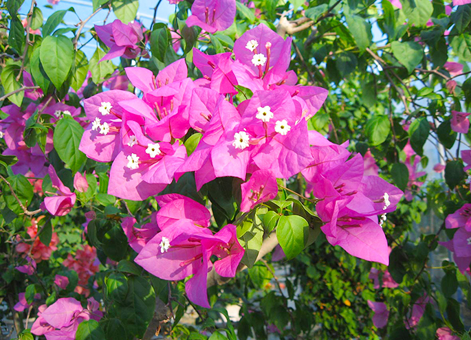Bougainvillaea to use for pressed flower