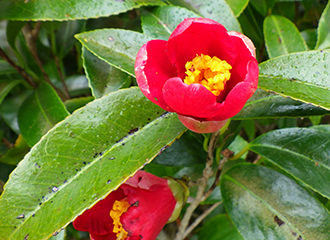 Thicket camellia