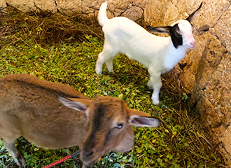 Let's go to encounter goat of Native Okinawan Village!
