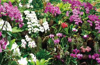 We are always fuddled with flavor of more than 2000 orchids. Three greenhouses where we gathered Orchis graminifolia, cattleya, vanda, friends of each orchid. It is given gorgeous flavor of one step indulgently when we set foot.