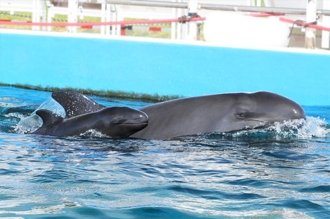 Baby of false killer whale was born!