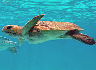 Loggerhead turtle of the second generation